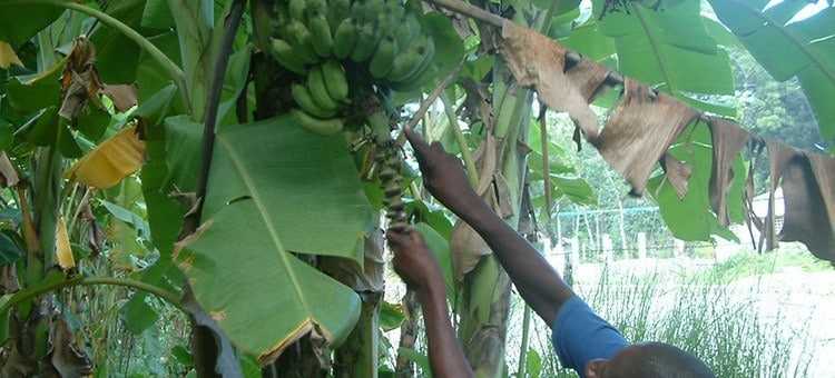 Person harvesting bananas from a tree in Haiti.