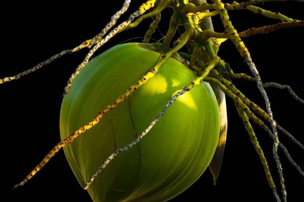 Plant of the coconut tree.