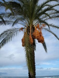 A date palm tree.