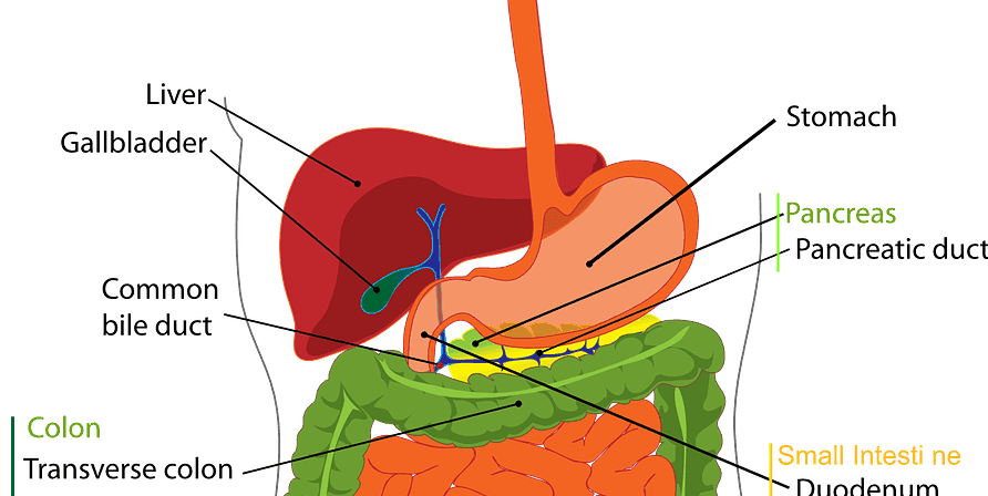 A graphic of the digestive system.