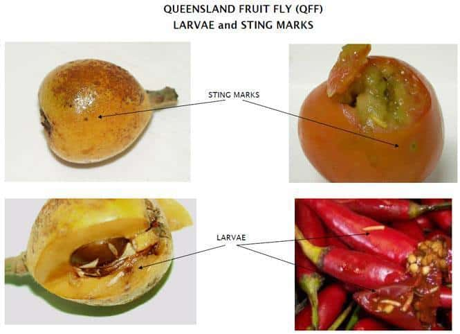 Images demonstrating fruit fly sting marks on fruit and vegetables.
