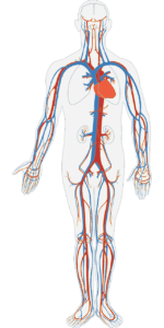 Graphic demonstrating the circulatory system of the body.