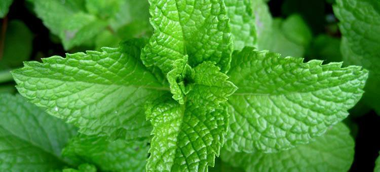 Close-up of peppermint.