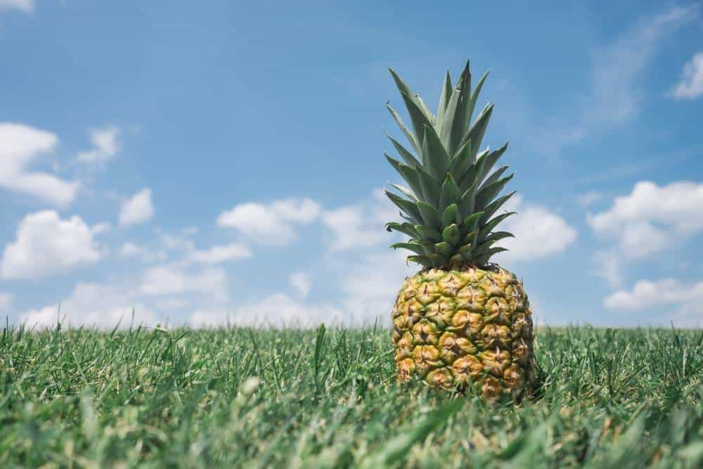 A pineapple in grass.