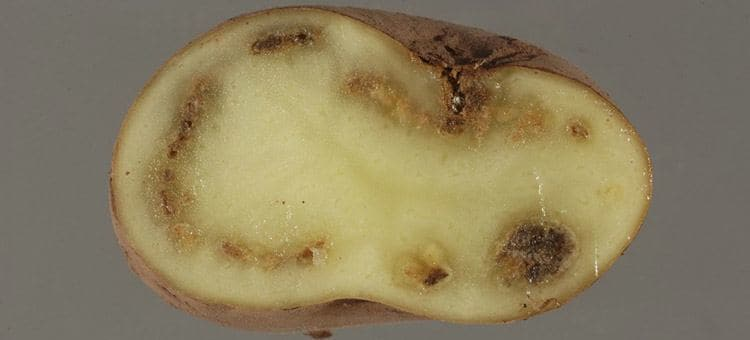 Inside of a contaminated and rotten potato.