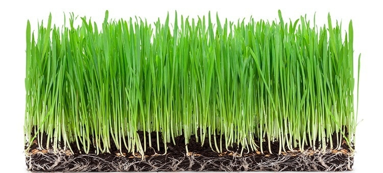 A patch of wheat grass.