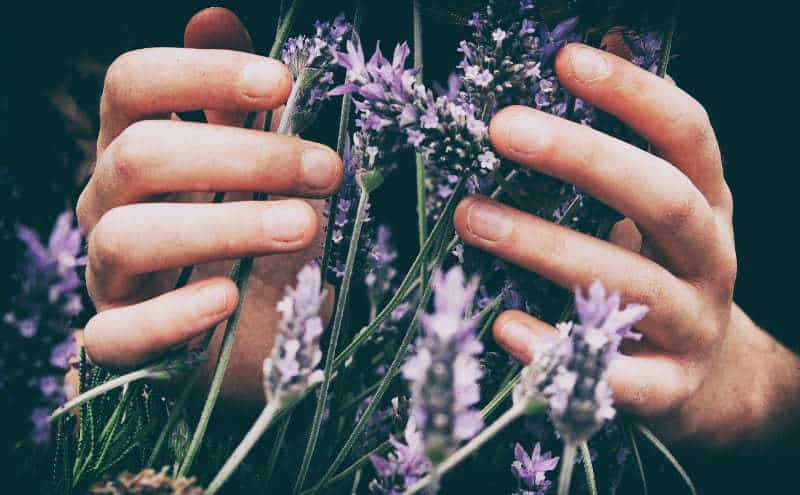 Person's hands touching lavender flowers.